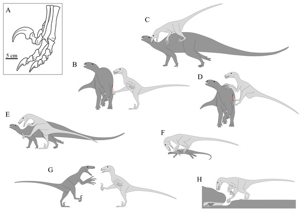 The famed 'sickle claw' of pedal digit II in dromaeosaurids and its hypothesized uses.