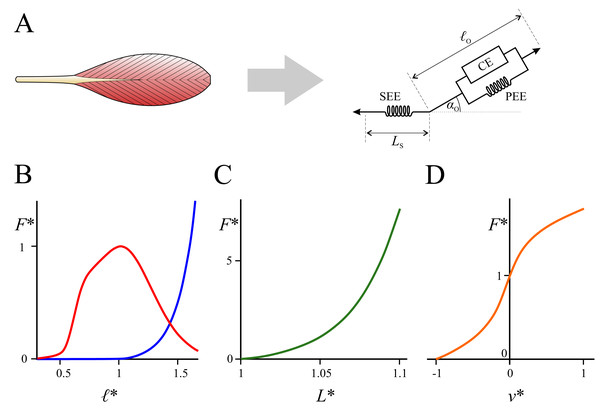 Mathematical representation of muscle architecture and its force–length–velocity relationships.