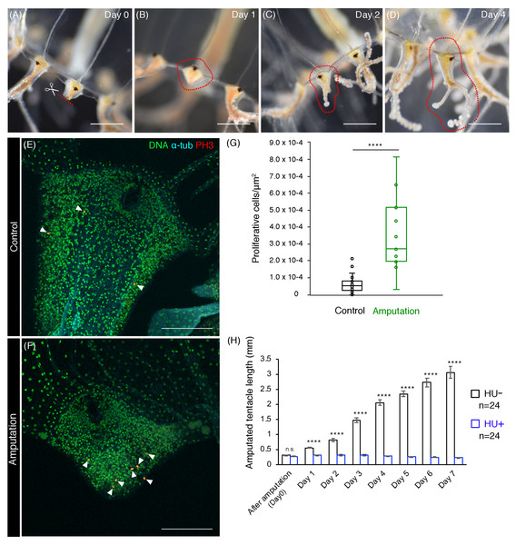 Cell proliferation is necessary for tentacle regeneration.