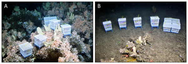 Live coral and bioerosion cages deployed within living reef structures (on-reef, (A)) and on the sediment in the off-reef location (B) in Nord-Leksa.