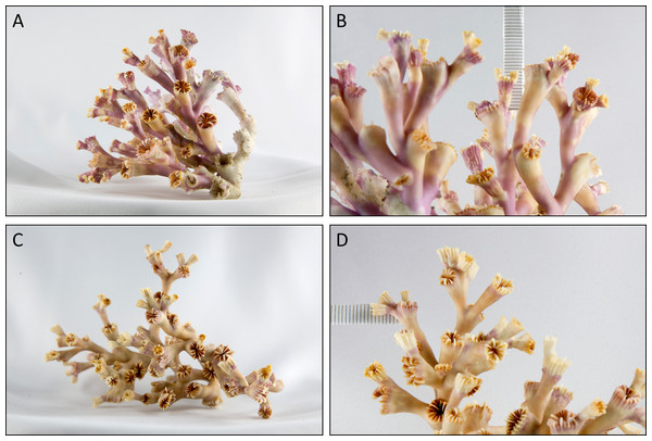 Exemplary branches of the stained live corals of a white (A + B) and an orange (C + D) coral from the Nord-Leksa on-reef location.