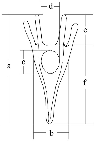 Conceptual diagram of larval size measurements.