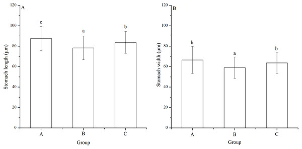 Stomach length (A) and width (B) of Strongylocentrotus intermedius larvae in mating groups A (♀0 × ♂0 μW · cm−2), B (♀20 × ♂20 μW · cm−2) and C (♀20 × ♂0 μW · cm−2).