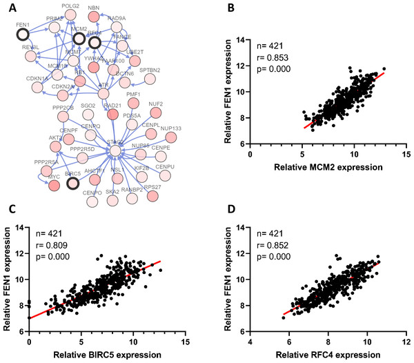 Correlations between the expression of FEN1 and MCM2, BIRC5, and RFC4.