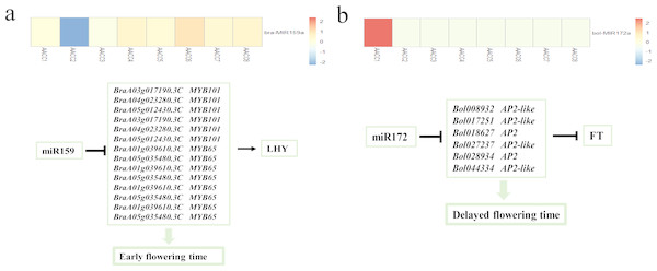 Analysis of miR159 and miR172 in F2 hybrids.