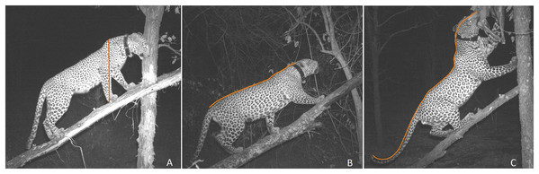 Pictorial representation of three most common leopard postures used in the study.