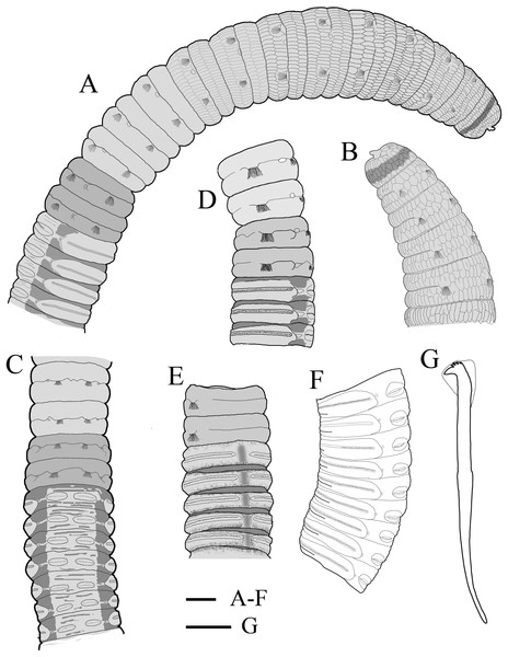 Holotype of Notodasus celebensis sp. nov. (TIO-BTS-Poly 101).