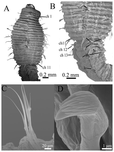 Scanning electron micrographs of Notodasus chinensis sp. nov. (TIO-BTS-Poly-106).