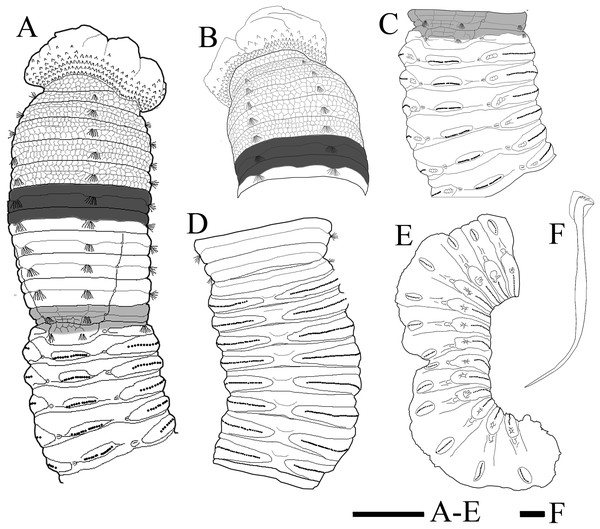Holotype of Notodasus chinensis sp. nov.