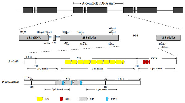 Structural organisation scheme of nuclear ribosomal DNA (nrDNA) repeat units in P. viridis and P. canaliculus.