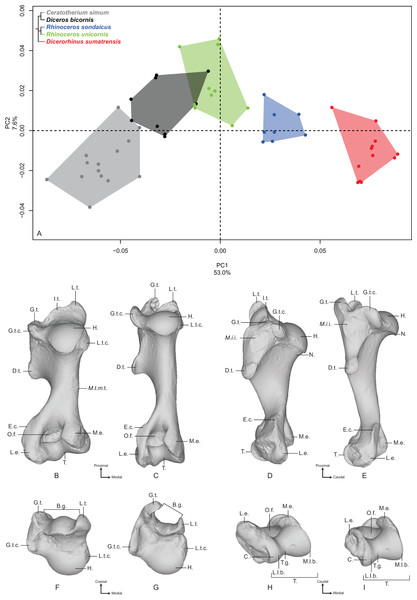Results of the PCA performed on morphometric data of the humerus.