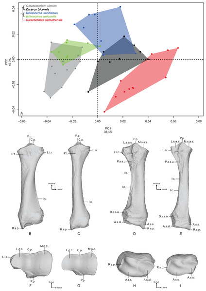 Results of the PCA performed on morphometric data of the radius.