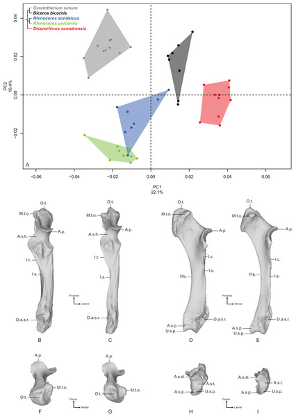 Results of the PCA performed on morphometric data of the ulna.