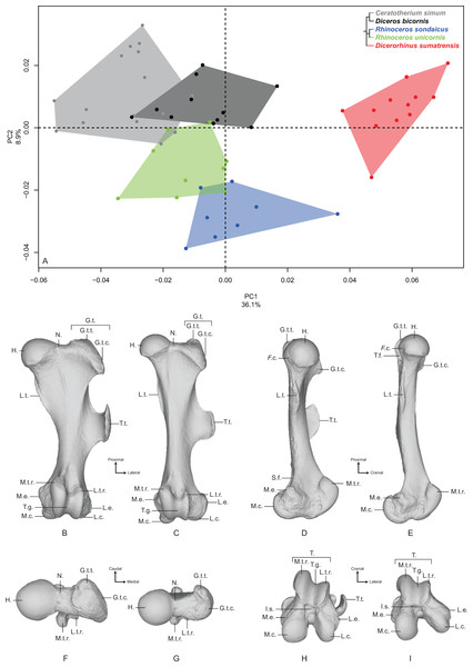 Results of the PCA performed on morphometric data of the femur.