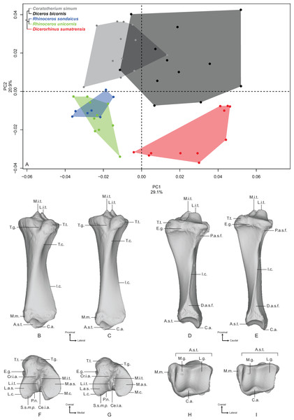 Results of the PCA performed on morphometric data of the tibia.
