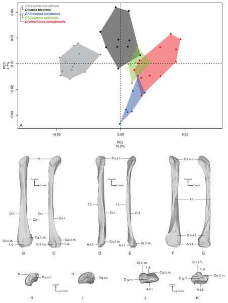 Results of the PCA performed on morphometric data of the fibula (second and third axes).