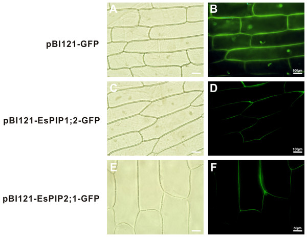 Subcelluar localizations of EsPIP1;2 and EsPIP2;1 proteins.