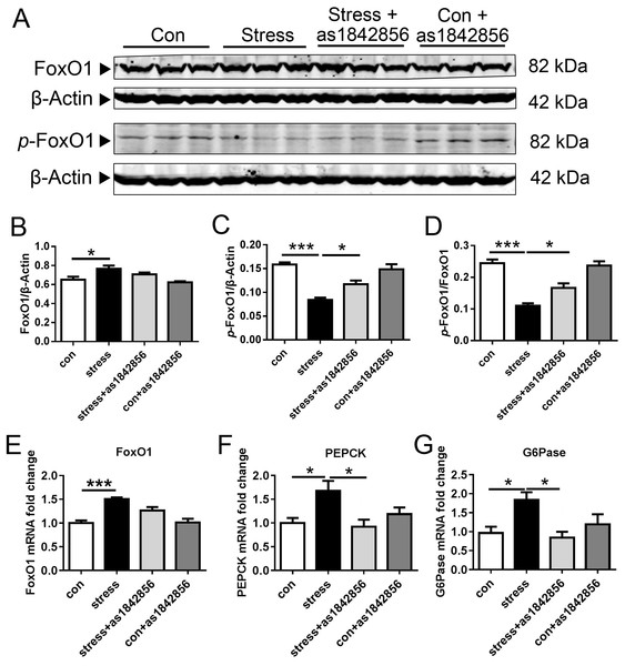 FoxO1 specific inhibitor as1842856 enhances FoxO1 phosphorylation in mice liver after 6 weeks.