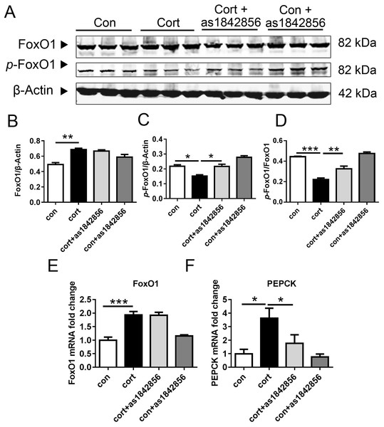 As1842856 protect Hepa1–6 cells against corticosterone-induced liver lipid deposition.