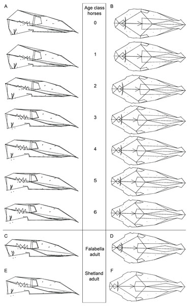 Cranial mean shapes for adult Falabella and Shetland, and for each analyzed age class of horses.