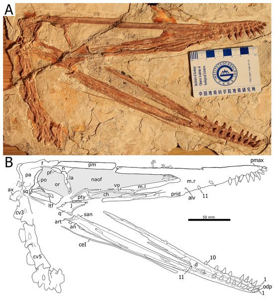 Nurhachius luei sp. nov., BPMC-0204, holotype, photograph, and line drawing.