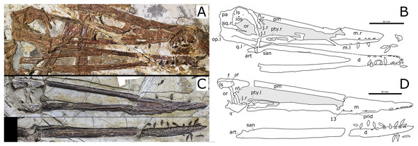 Nurhachius ignaciobritoi specimens, photographs and line drawings.