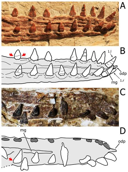 Close view of the dentary symphysis of Nurhachius species.