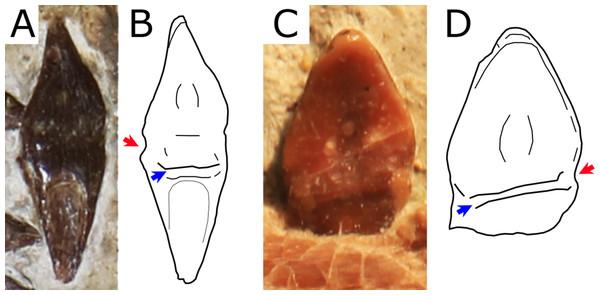 Close view of the dentition in Nurhachius species.