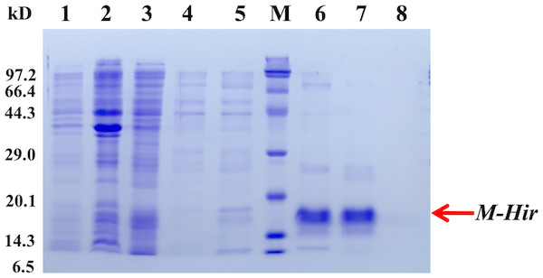 Expression and purification of the mature M-Hir protein.