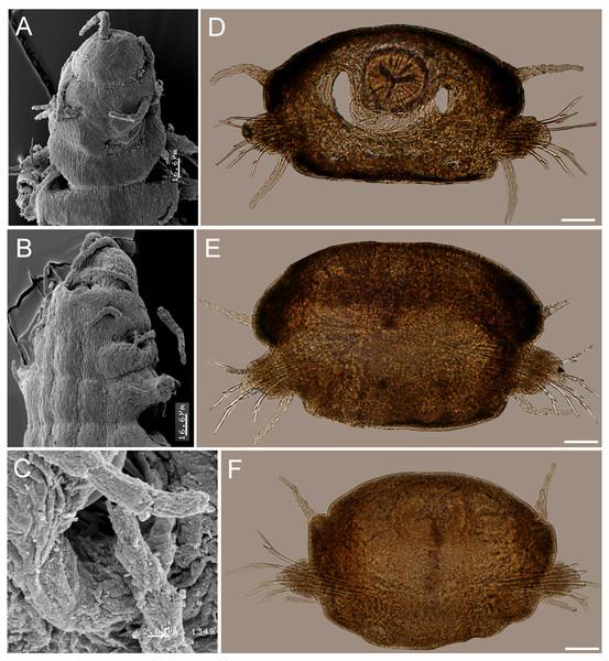 Struwela camposi n. sp., paratypes (UANL 8127).