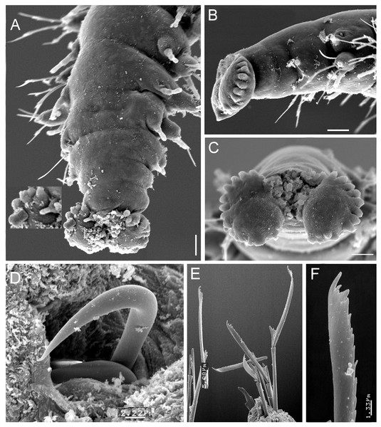 Struwela camposi n. sp., non-type specimens (ECOSUR).