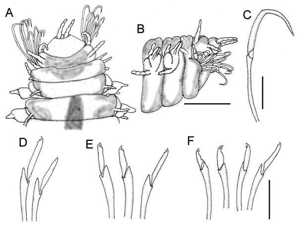 Struwela noodtiHartmann-Schröder, 1959, holotype (ZMH P-14195).