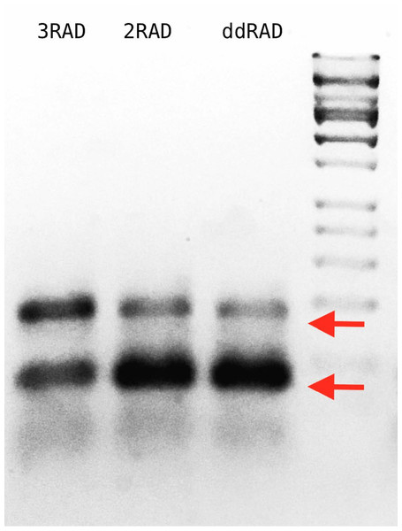 Agarose gel with 3RAD, 2RAD, and ddRAD library products performed on pUC19 vector with an input quantity of 0.5 ng.
