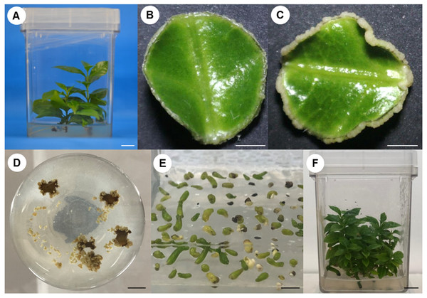 Process of somatic embryogenesis induction in C. canephora.