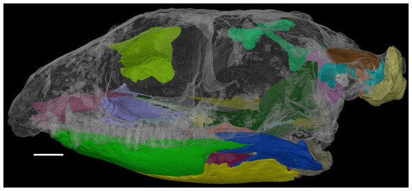 The skull of Feeserpeton oklahomensis, OMNH 73541, showing the regions that were reconstructed using CT data.