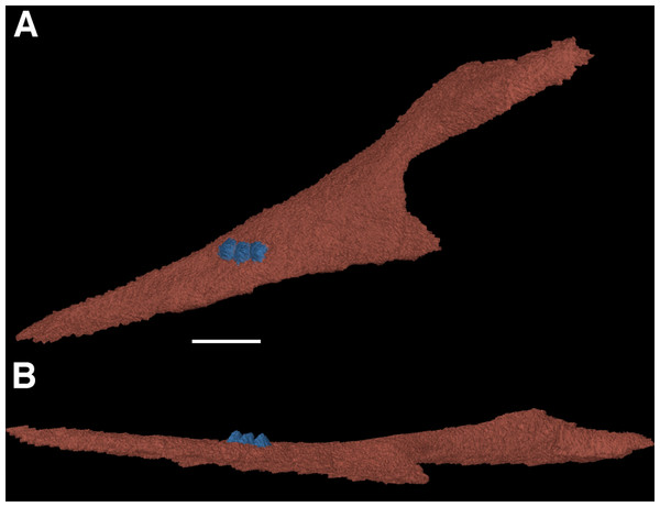 The right coronoid of Feeserpeton oklahomensis, OMNH 73541, reconstructed from CT data.