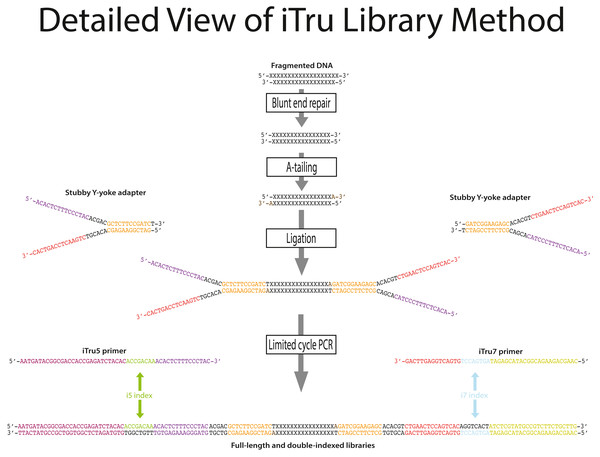 Detailed steps for iTru library construction with relevant sequences.