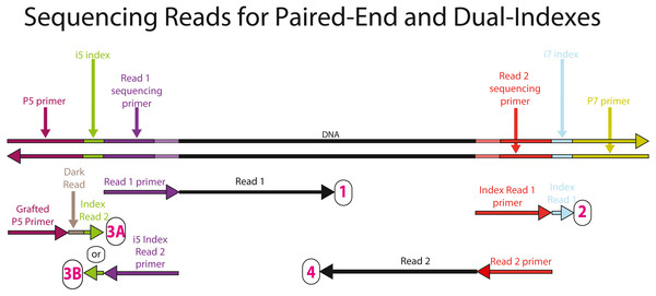 Sequencing reads that can be obtained from the full-length, dual-indexed iTru library molecules.