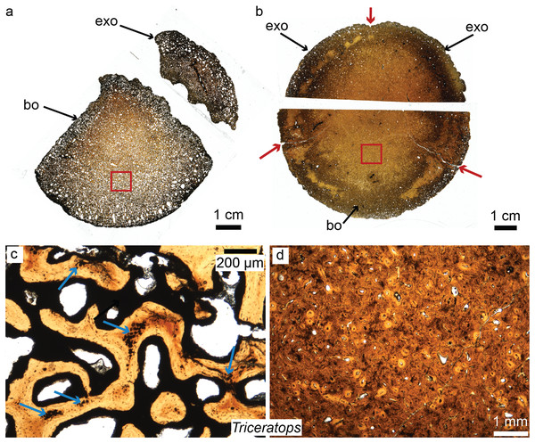 Petrographic ground sections of the occipital condyles of two young Triceratops, MOR 1110 (A–C) and MOR 8657 (B–D).