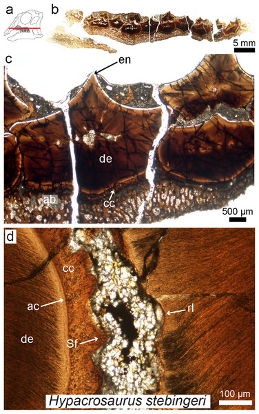 Petrographic ground section of an isolated maxilla of a Hypacrosaurus embryo (MOR 559).