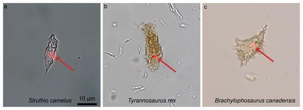Ostrich (A) and dinosaur (B–C) cellular response to the DNA intercalating dye propidium iodine (PI).