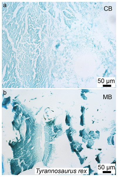 Paraffin thin-sections paired with alcian blue histochemical staining of demineralized cortical bone (A) and medullary bone (B) of T. rex (MOR 1125).
