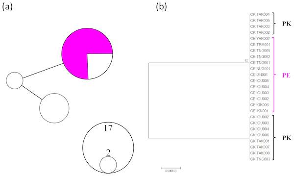 MtDNA haplotype network considering gap regions (A) and maximum likelihood phylogenetic tree excluding gap regions (B).