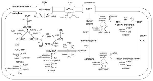 A genome-based metabolic model for DCM and amine catabolism in DCMF.
