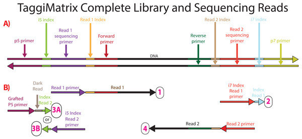 Sequencing reads that can be obtained from dual-indexed paired-end reads.
