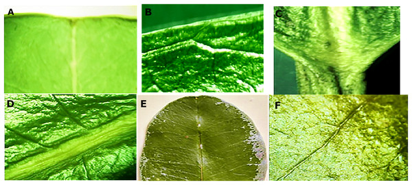 Macro morphological details of leaf from M. coriacea.
