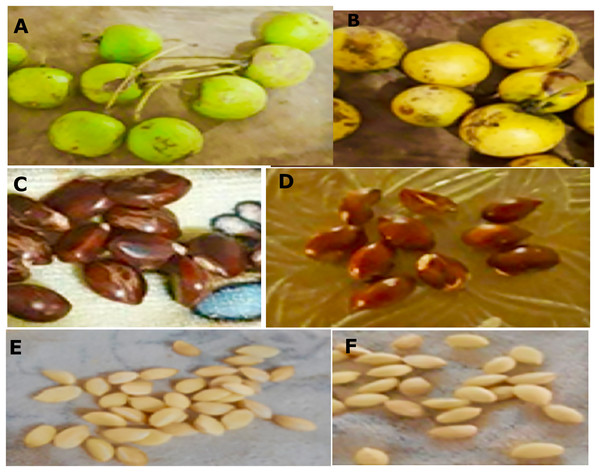 Macro morphological characters of fruits and seeds from M. coriacea.