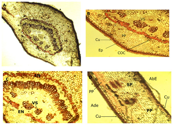 Microscopic characteristics of leaf from M. coriacea.