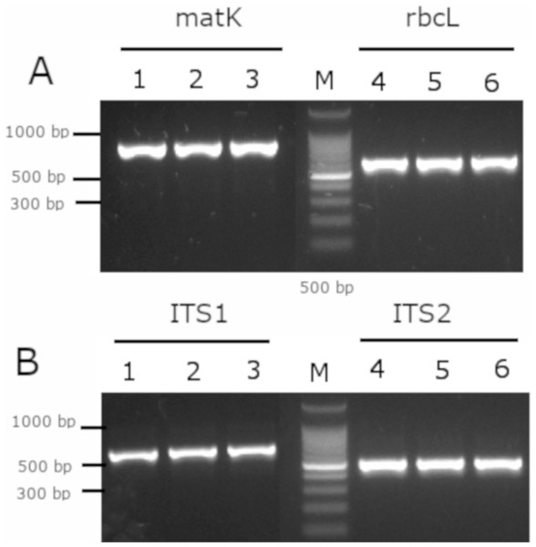 Gel electrophoresis of amplicons generated for the molecular barcodes with the genomic DNA of M. coriacea.