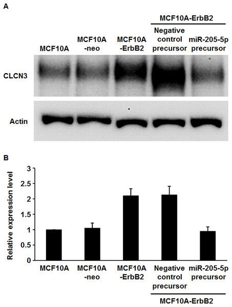 Expression of CLCN3 in ErbB2-overexpressing breast epithelial cells.
